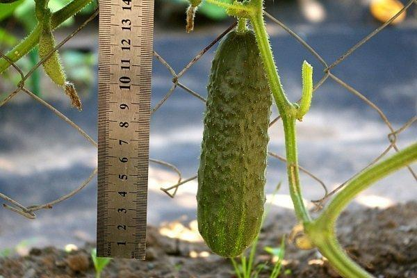 Огурец Меренга f1: отзывы, фото, описание сорта