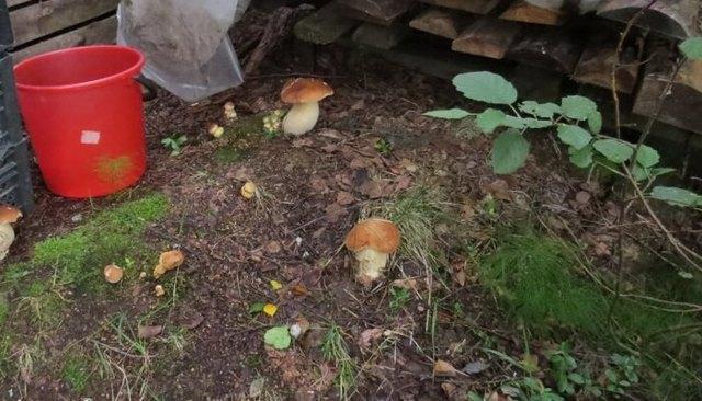 Как вырастить белые грибы на садовом участке: выращивание на даче, видео