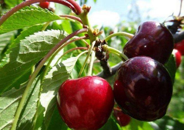 Черешня Бычье сердце: описание сорта, опылители, фото, отзывы