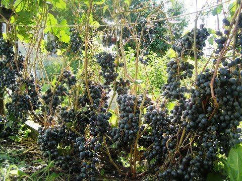 Виноград Загадка Шарова: описание сорта, фото, отзывы