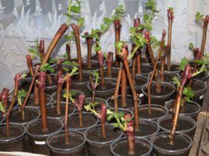 Посадка винограда осенью саженцами, черенками: когда лучше сажать