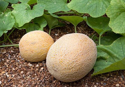 Дыня Галия: посадка и уход, выращивание