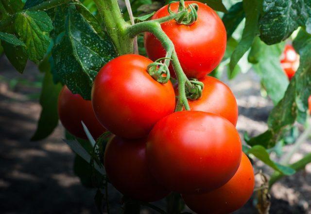 Томат Африканская лиана: описание, выращивание, отзывы, фото