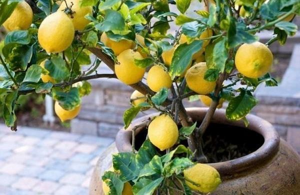 Как ухаживать за лимоном дома: чем подкормить, как обрезать и поливать