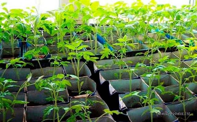 Как вырастить томаты без пикировки
