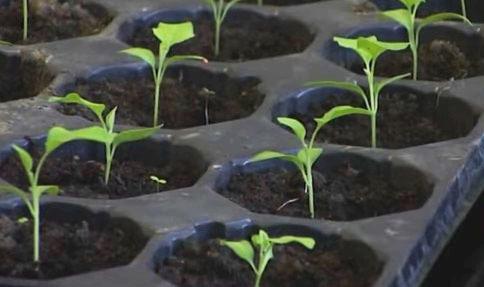 Чем можно подкармливать рассаду баклажан