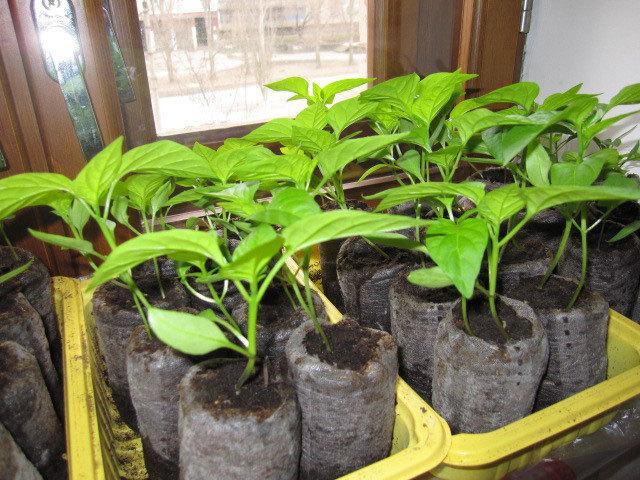Сроки посадки перца на рассаду на Урале