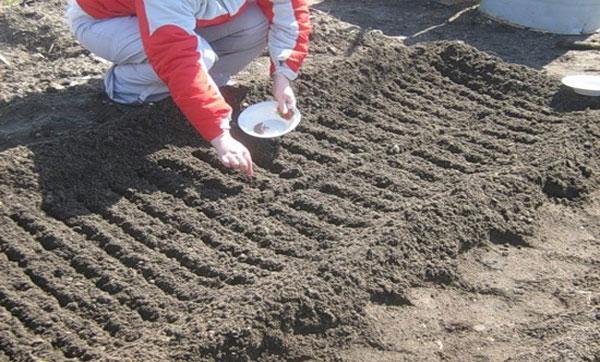 Как посеять семена моркови в открытый грунт