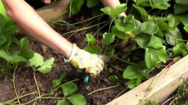 Выращивание клубники в кашпо на улице