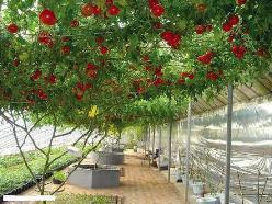 Томат Шаста f1: описание, агротехника, урожайность, отзывы, фото