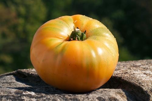 Томат Амана Оранж (amana orange): отзывы, описание сорта, урожайность, фото