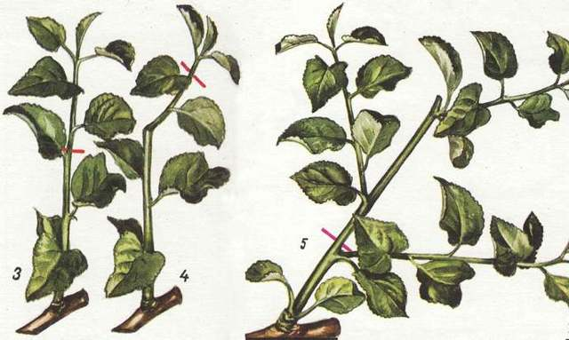 Обрезка груши весной и летом: молодой, взрослой, двухлетней, трехлетней, колоновидной