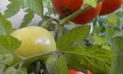 Томат Анюта f1: отзывы, фото, урожайность