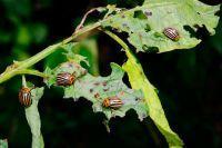 Средство от колорадского жука Калаш + отзывы
