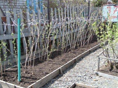Обработка малины весной