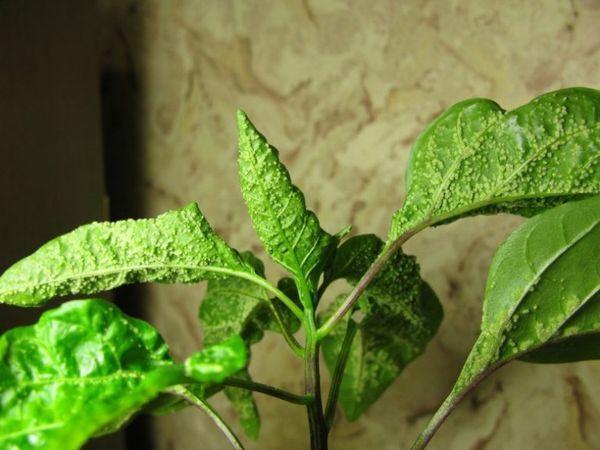 Листья у рассады перца скручиваются