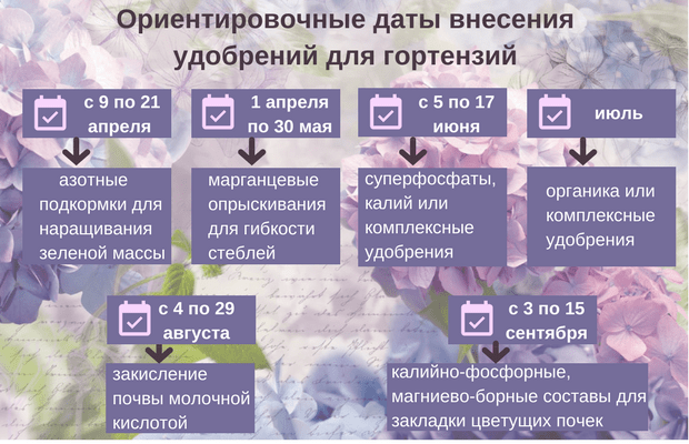 Чем подкормить гортензию весной: садовую, розовую, крупнолистную, древовидную