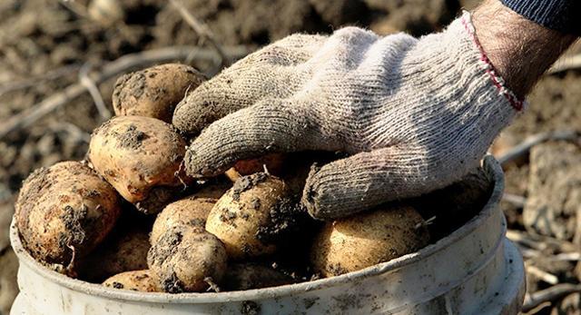 Обрабатываем картофель при посадке от фитофторы