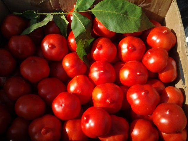 Томат Примадонна: описание сорта, отзывы, фото, урожайность