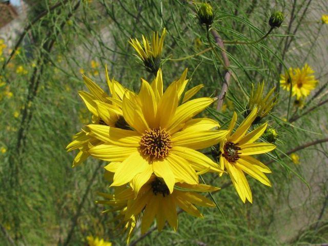 Многолетние садовые цветы