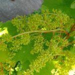 Виноград Русбол улучшенный, мускатный: описание сортов, фото, отзывы