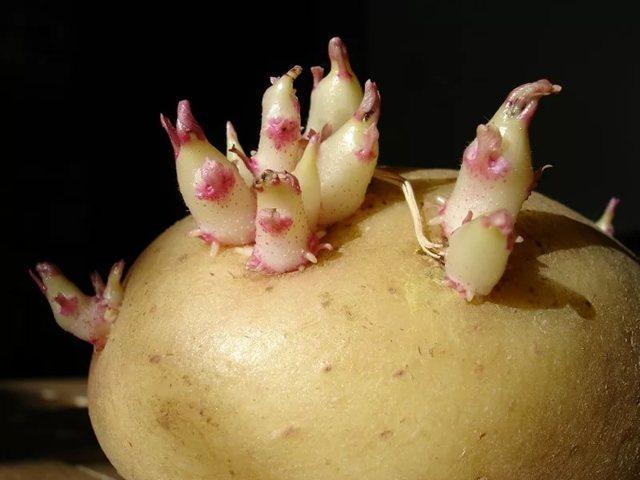 Картофель сорта Барин: характеристика, отзывы