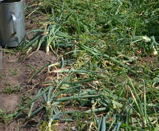 Когда убирать зимний лук: сроки уборки