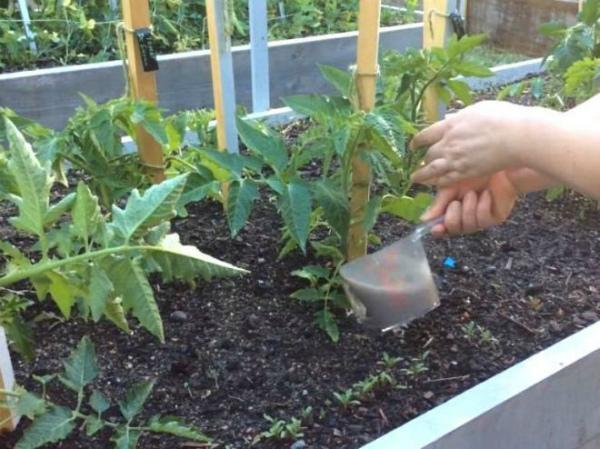 Уход и подкормка томатов в теплице