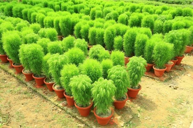Кохия: выращивание из семян, когда сажать на рассаду