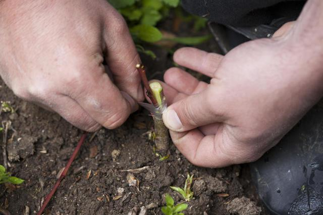 Прививка яблони весной в расщеп