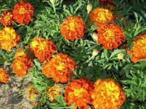 Выращивание бархатцев из семян: когда сажать на рассаду, сроки, как пикировать