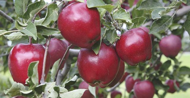 Яблоня Ред Делишес: описание сорта, фото, отзывы