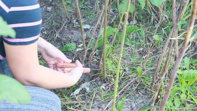 Описание сорта малины Зюгана