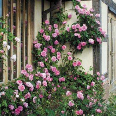 Схема посадки роз Остина