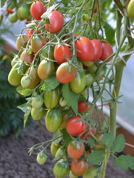 Томат Чио Чио Сан: отзывы, фото, урожайность