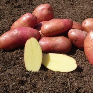 Поздние сорта картофеля: фото, описание, отзывы