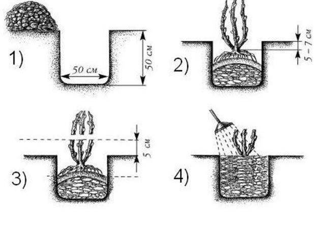 Крыжовник Арлекин: описание сорта, отзывы + фото