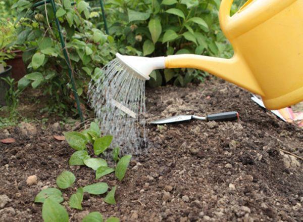 Как размножить клематис: черенками, отводками, семенами