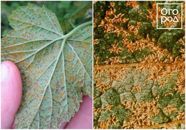 Болезни красной смородины: красные пятна на листьях, фото, лечение, борьба с вредителями