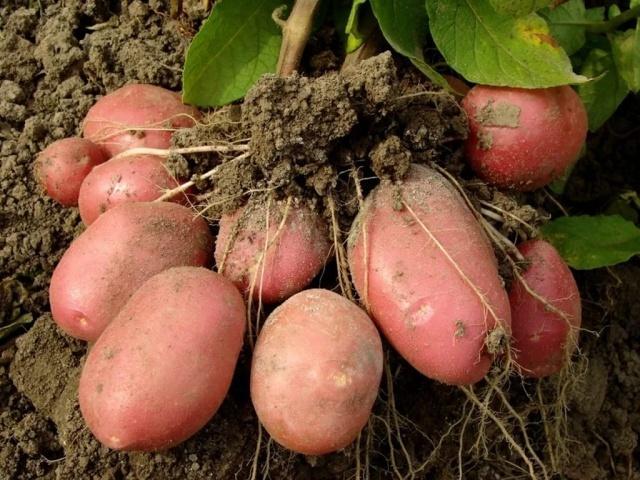 Картофель Рокко: описание сорта, фото, отзывы