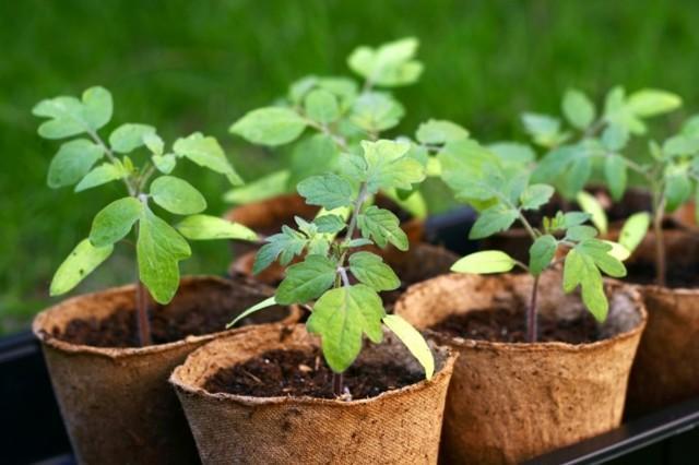 Как высаживать переросшую рассаду помидор