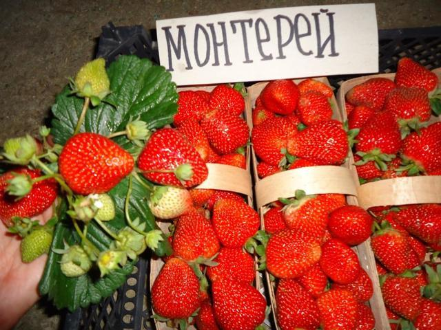 Клубника Монтерей: описание сорта, фото, отзывы