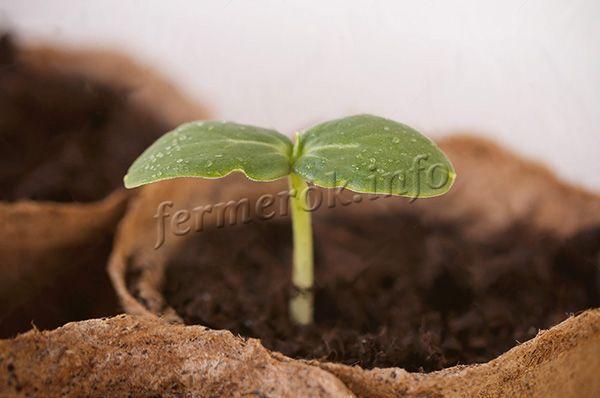 Огурец Мурашка f1: описание сорта, фото, отзывы