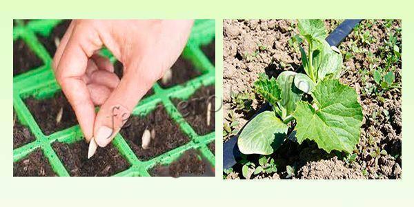 Когда сеять кабачки на рассаду