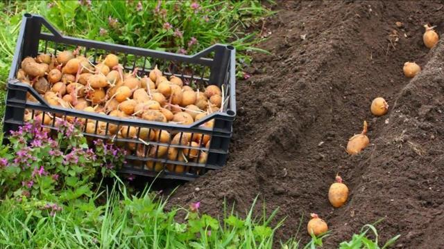 Картофель Вектор: описание сорта, вкусовые качества, фото, отзывы