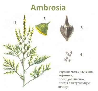 Сорняк амброзия