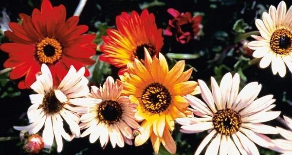 Арктотис - выращивание из семян: когда сажать, фото