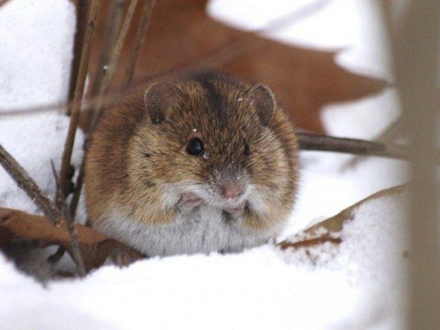 Яблоню объели мыши: что делать, как спасти
