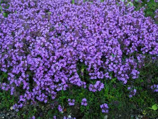 Неприхотливые цветущие однолетние цветы для клумбы