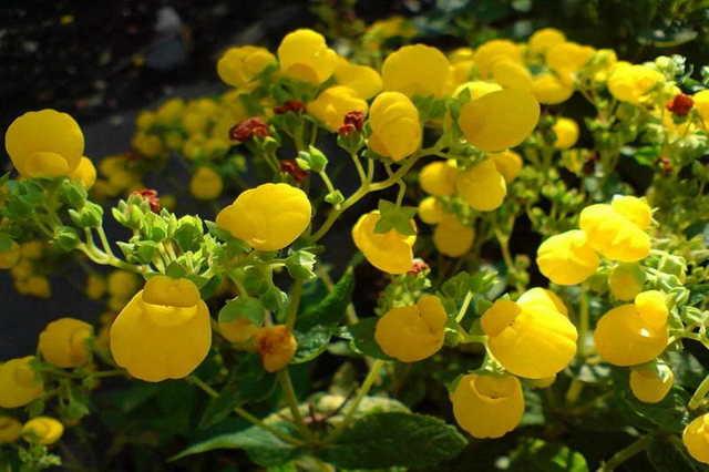 Выращивание Кальцеолярии из семян в домашних условиях